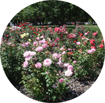A row of rose bushes in WSU Prosser's rose garden