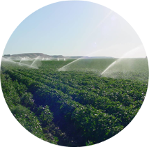 Multiple sprinklers watering a crop